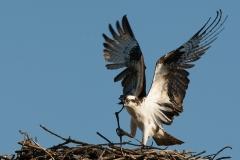 Nature - Osprey Nest Building - Betty Bryan