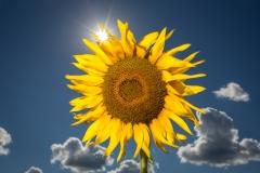 Nature - Sun Flower - Fred Sobottka