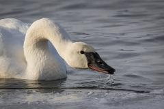 11.Trumpeter Swan - Michael Waterman