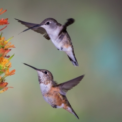 01 Black chinned & Rufous Hummingbirds