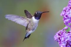 03 Black chinned Hummingbird