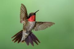 08 Ruby Throated Hummingbird