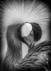 1st Place Black and White - Crowned Crane - Marianne Diericks