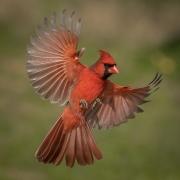 1st Place Realistic - Cardinal in Flight - Lori Moilanen