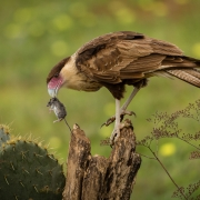 2nd Place Nature - Caracara with Mouse - Lori Moilanen