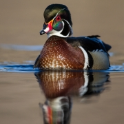 3rd Place Nature - Wood Duck - Larry Weinman