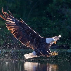 18.Majestic Eagle - Jeff Bucklew
