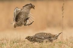 9.Sharptail Terrritorial Squabble - Betty Bryan