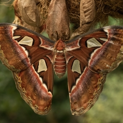 Nature - Atlas Moth - Melissa Anderson