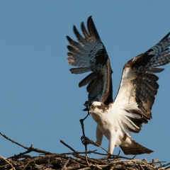 Nature - Osprey Nest Building - Betty Bryan
