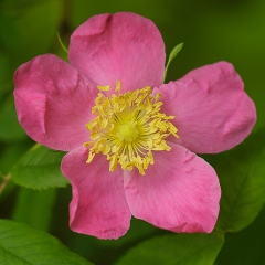 Nature- Wild Rose - Terry Butler