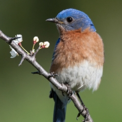 Nature - Bluebird - Betty Bryan