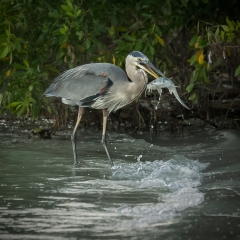 Nature - Heron and Catfish - Kathy Lauerer