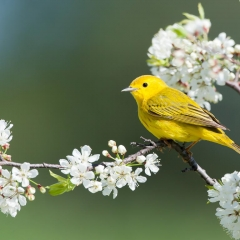 Nature - Yellow Warbler - Betty Bryan