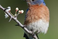 Nature - Bluebird - Betty Bryan