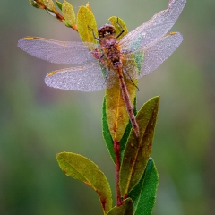 Honorable Mention Nature - Dragonfly on Dewy Morning - Sue Oberstar