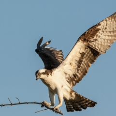 Honorable Mention Nature - Osprey - Betty Bryan
