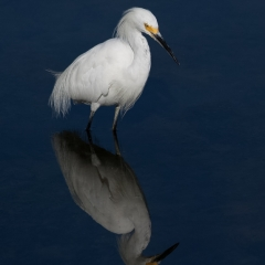 Honorable Mention Nature - Snowy Egret With Reflection - Larry Weinman