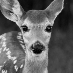 Honorable Mention Nature - Wide Eyed Fawn - Jeff Nelson