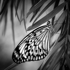 Honorable Mention Realistic -  Blooming Butterfly - 245