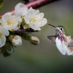 Honorable Mention Realistic - Hummingbird Flight - Betty Bryan