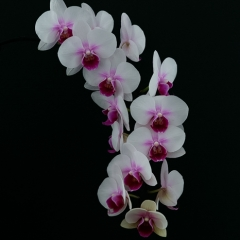 Honorable Mention Realistic - My Orchid - Larry Weinman