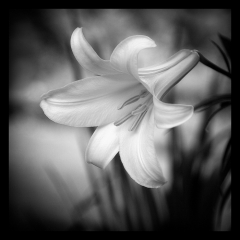 Mono Print Honorable Mention - Trumpet Lily - Terry Butler