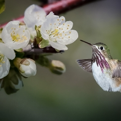 Realistic Honorable Mention - Hummingbird Flight - Betty Bryan