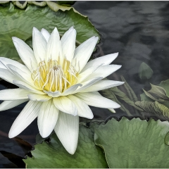 18.Water Lily - Marilyn Rau