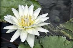 18.Water Lily - Marilyn Rau