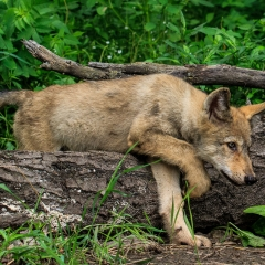 Nature Acceptance - A Wolf Cub Stalking - Larry Weinman