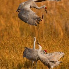 Nature Acceptance - Dancing Cranes - MJ Springett