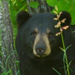 Realistic Acceptance - Black Bear - MJ Springett