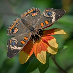 Nature Acceptance - Common Buckeye Butterfly - Marianne Diericks