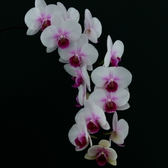 Realistic Acceptance -  My Orchid - Larry Weinman
