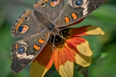 Nature Acceptance - Common Buckeye Butterfly - Marianne Diericks