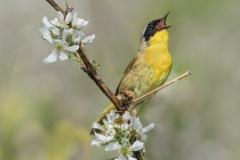 Nature Acceptance - Common Yellowthroat - Marianne Diericks