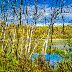 Color Print - Stand of Birch in Autumn in Abstract - Ken Wolter