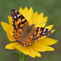 Nature - Painted Lady Butterfly -  Don Specht
