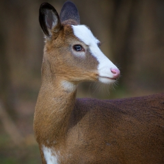 Nature - Piebald White Tailed Deer - Don Specht