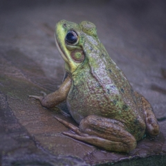 Nature - Wet-Frog - Pat Chiconis