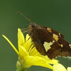 Nature - White Spotted Skipper -  Larry Weinman