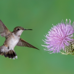 Realistic - Hummingbord with Thistle - Betty Bryan