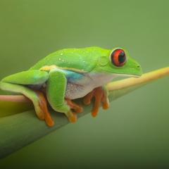 Realistic - Red-Eyed Frog - Terry Butler
