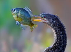 1st Place Color Print - Anhinga with Fish - Don Specht