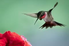 1st Place Nature - Ruby Throated Hummingbird - Betty Bryan