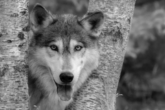 2nd Place Realistic - Grey Wolf Black and White - Betty Bryan