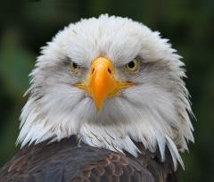 3rd Place Color Print - Bald Eagle - Don Specht