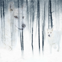 2nd Place Creative - Arctic Wolf Forest Fantasy - Melissa Anderson
