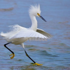 11.Snowy Egret Walking On Water - Paul Santo